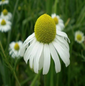 German chamomile For Beautiful Skin