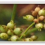 Coriander organic chelator